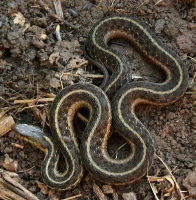 The gallery for baby eastern garter snake for What do baby garden snakes eat